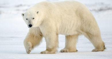 Численность белых медведей через 45 лет может сократиться на две трети