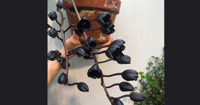 В Москве расцвела самая черная орхидея в мире