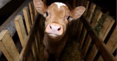 В Крыму из колодца с мазутом вытащили теленка