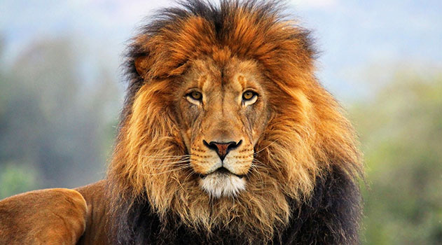 В середине апреля в Крыму львов выпустят на свободу