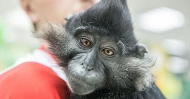 На ЮБК перекрыли дорогу из-за сбежавшей обезьяны