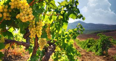 Виноградари не получат компенсаций за проходящую по их полям трассу «Таврида»