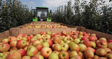 Крым отправит в детдома Ленобласти 10 тонн яблок