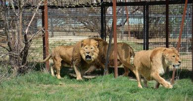 В Крыму 75 львов выпустили на волю из вольеров