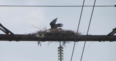 Крымские энергетики немного помогли увеличить популяцию краснокнижных орлов-могильников