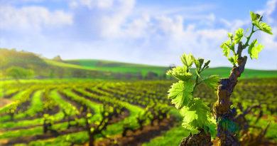 Крымскому винограду дадут 300 миллионов