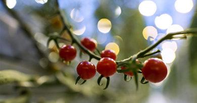Теплицы агроколледжа КФУ готовы дать урожай винограда, томатов и земляники