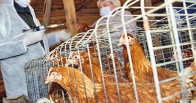 Работников птицеводческих ферм в этом году обяжут сделать прививку от гриппа
