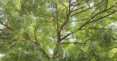 Власти Феодосии снесут 250 аварийных деревьев в текущем году