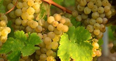 na-festivale-vinogradnye-sezony-v-alushte-ustroyat-fruktovyj-battl