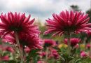Бал хризантем откроется в Никитском ботсаду через две недели