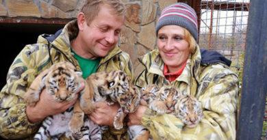 v-krymu-v-safari-parke-tajgan-rodilos-shest-amurskih-tigryat