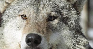 pod-alushtoj-vveli-karantin-iz-za-beshenstva-volka