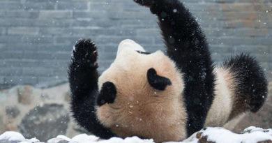 povalyalas-v-sugrobah-zalezla-na-el-panda-v-kitae-raduetsya-pervomu-snegu