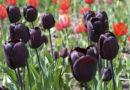 Парад тюльпанов в Никитском ботаническом саду (Ялта) откроется 13 апреля