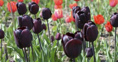 parad-tyulpanov-v-nikitskom-botanicheskom-sadu-yalta-otkroetsya-13-aprelya
