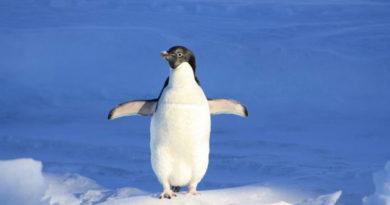 uchenye-obnaruzhili-v-antarktide-1-5-milliona-neizvestnyh-prezhde-pingvinov