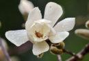 В Никитском ботаническом саду зацвела магнолии Лебнера