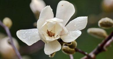 v-nikitskom-botanicheskom-sadu-zatsvela-magnolii-lebnera