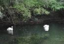В симферопольском парке поселили лебедей и попугаев