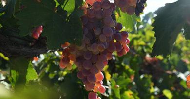 v-krymu-sobrali-67-tys-tonn-vinograda
