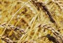 Крым экспортировал за год 200 тысяч тонн зерна – вдвое меньше прошлогоднего