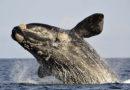 В гавань Веллингтона впервые за почти 20 лет приплыл южный гладкий кит