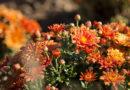 В Крыму вывели новые сорта хризантем