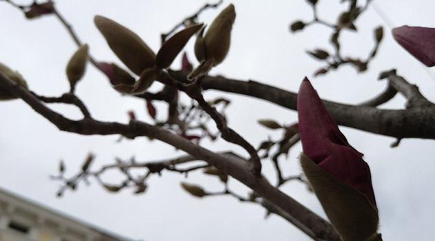 v-tsentre-simferopolya-prohozhie-mogut-polyubovatsya-tsvetushhej-magnoliej