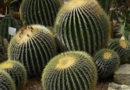 Мексиканское лето: в Никитском ботсаду цветут алоэ и полувековая агава