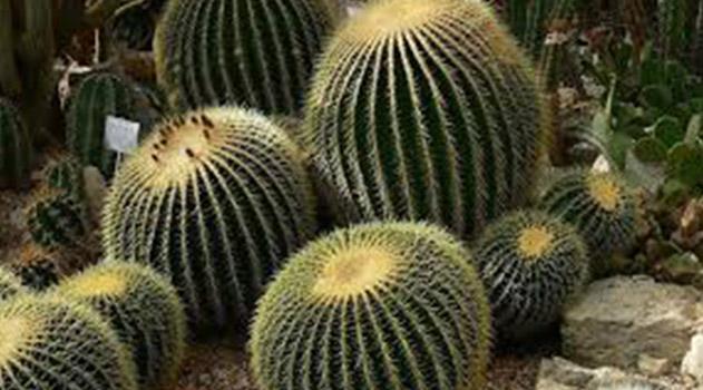 meksikanskoe-leto-v-nikitskom-botsadu-tsvetut-aloe-i-poluvekovaya-agava