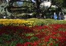 Никитский ботсад представит более сотни новых сортов и гибридов хризантем