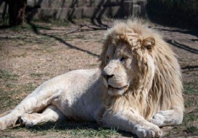 """Зубков рассказал, когда откроется парк львов """"Тайган"""""""